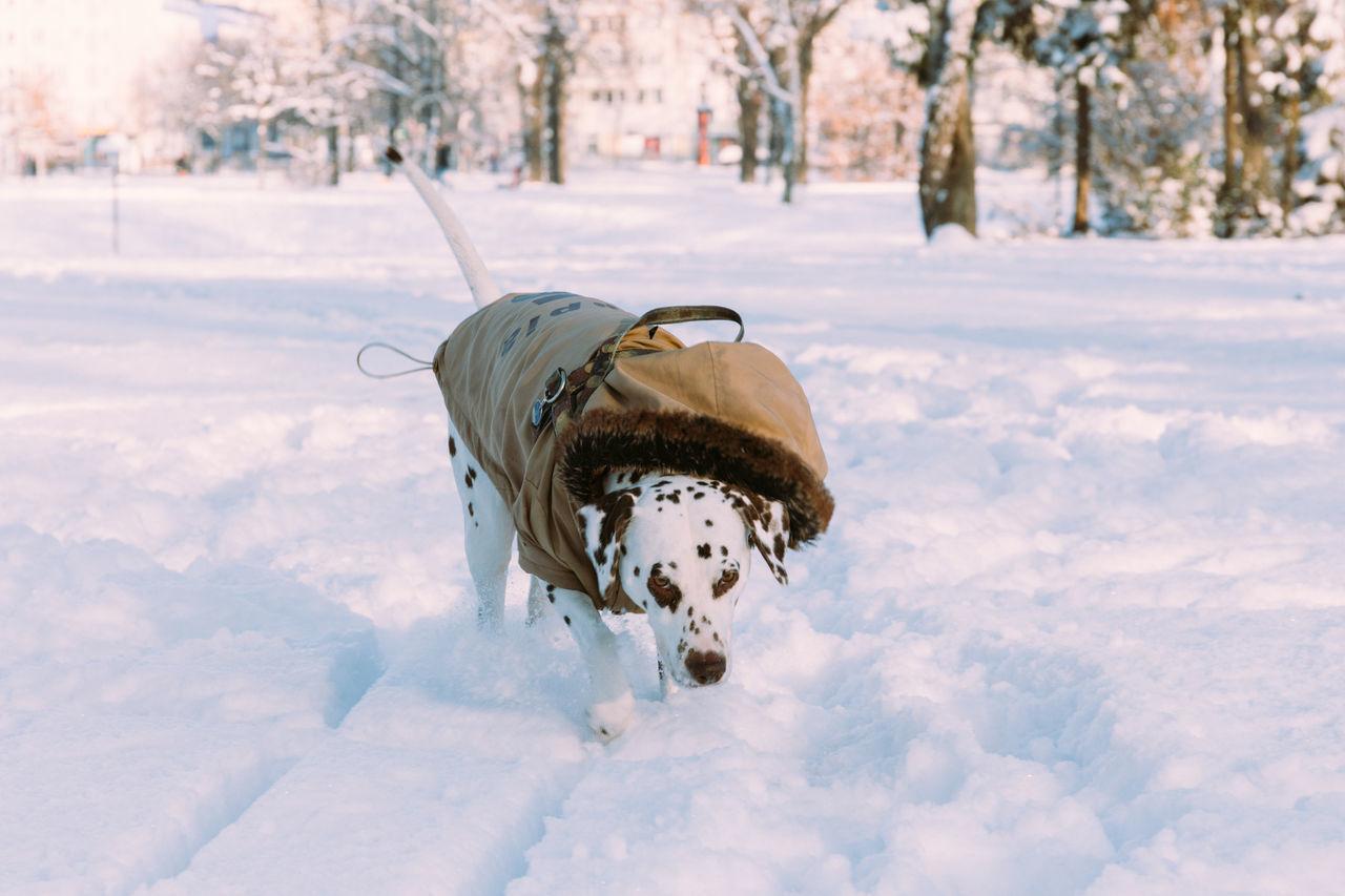 Beautiful stock photos of dogs, Animal Themes, Dalmatian Dog, Day, Dog