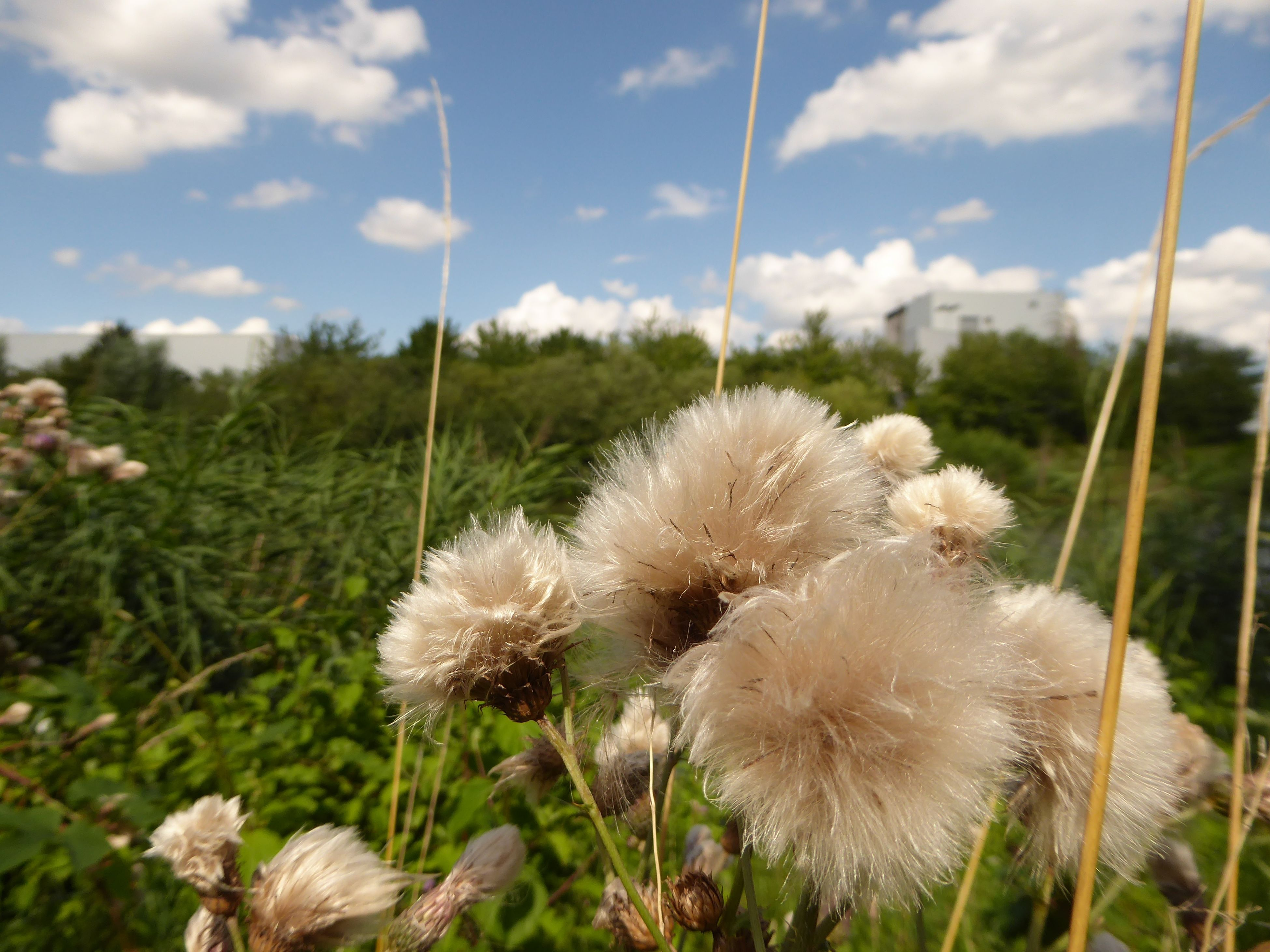🤗so Schön Puschlig Fuzzy Plants And Clouds Am Mittellandkanal In Hannover Focus On Foreground Close-up Tranquility Lucky Me! Summertime 🌞 You Raise Me Up✨ Summertime🌼🍃🌺🌷☘️🌿😍✨ For The Love To Life My Soul's Language Is📷 Thankful🦄 AfterworkchillenamKanal😎 Nature Beautiful Summerday Radlweg For My Friends 😍😘🎁 Flower Head