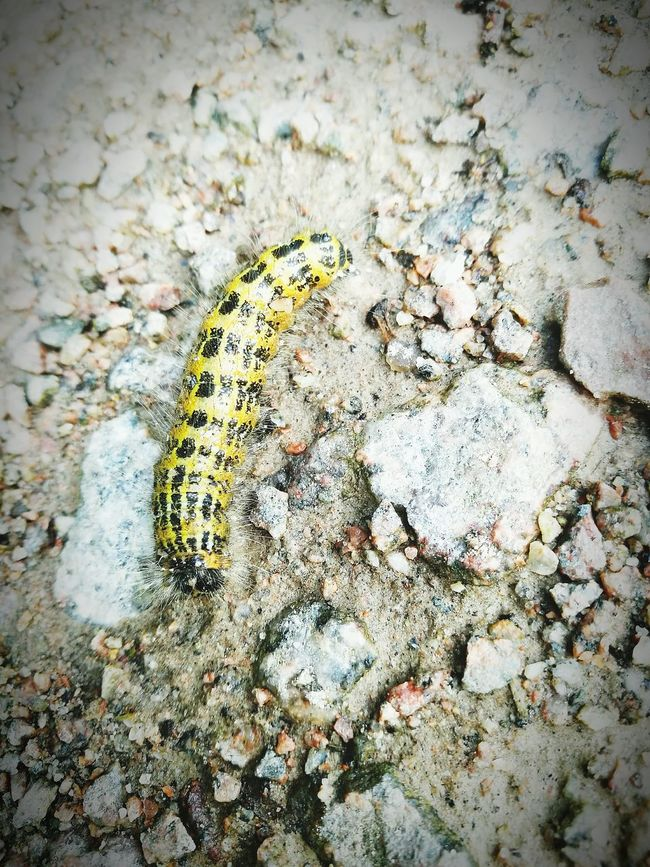 Insect One Animal Animal Themes No People Day High Angle View Close-up Outdoors Nature Animal Wildlife Caterpillar Bug Insects  Hairy  Hairycaterpillar
