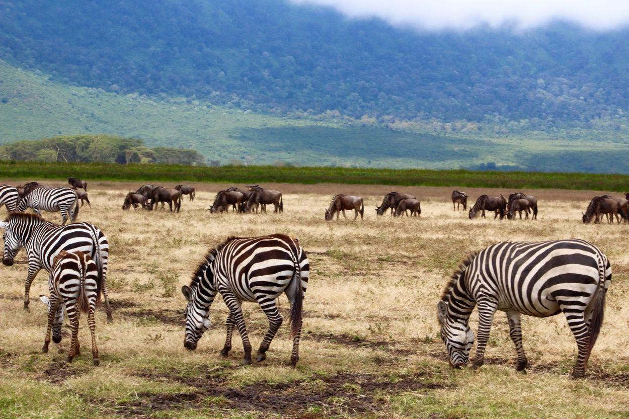 Africa African Animals Animal Photography Black And White Stripes Landscape Lanscape Photography Nature Ngorongoro Crater Safari Safari Animals Tanzania Travel Travel Destinations Travel Photography Wild Wildlife Wildlife & Nature Wildlife Photography Zebra Zebra Crossing Zebras