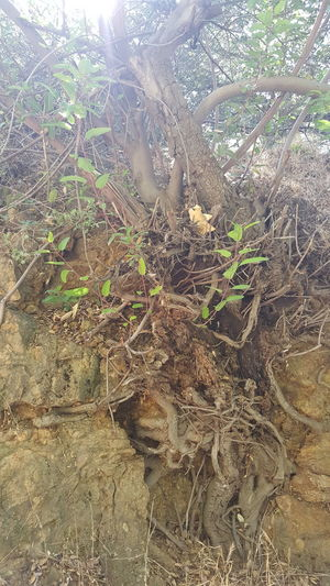 Outdoors No People Nature Close-up Tree Roots Of Tree Roots Of Life Always Move Forward Gift Do You See What I See Natural Hope