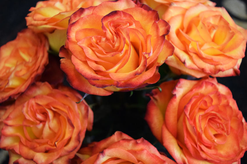 a bouquet of orange roses Botany, Botanical, Delicate, Violet, Purple, Flower. Flowres GA Garden Garden, Orange Orange, Romance, Love, Concept,spring, Summer Roses, Flowers, Nature, Garden, Bouquet, Love,