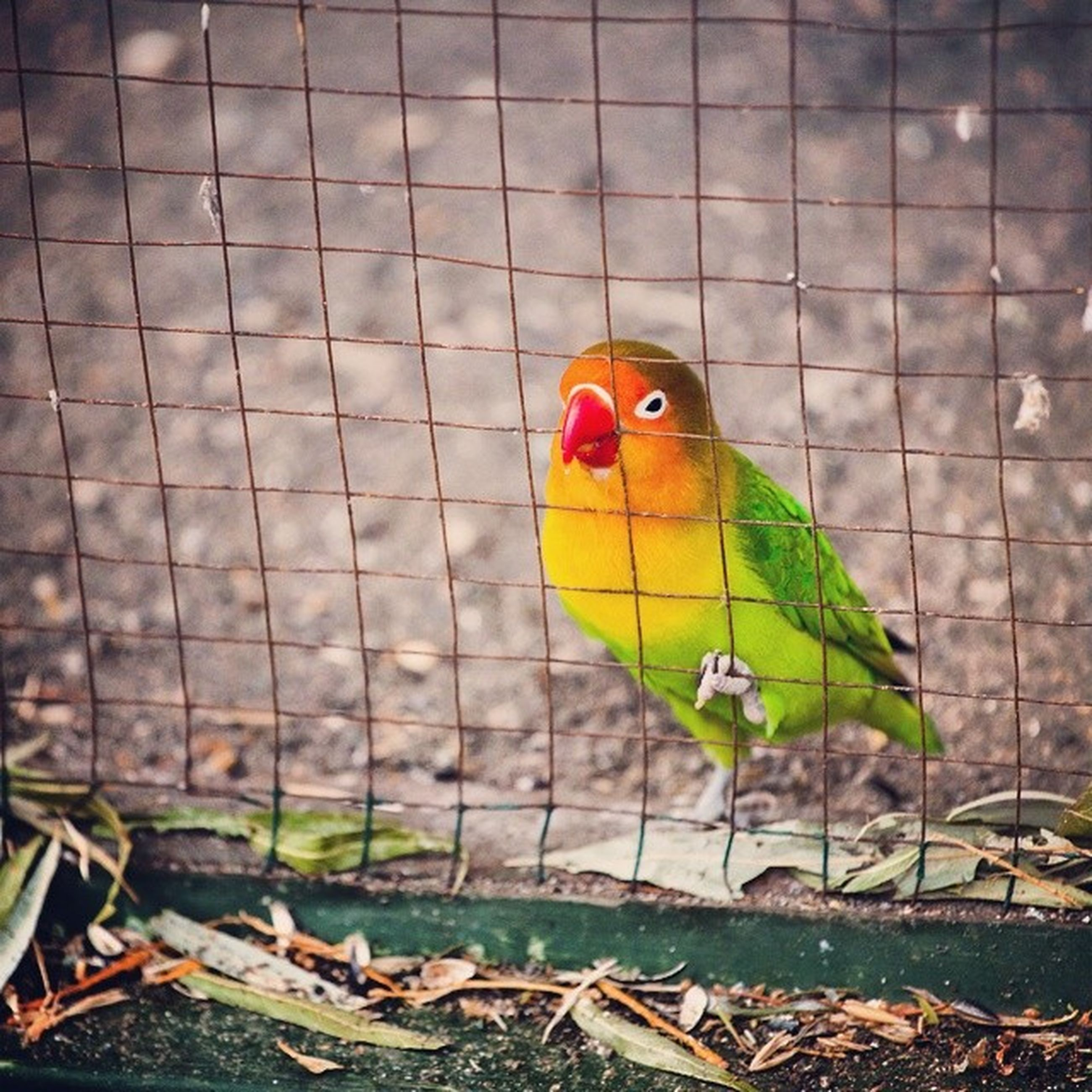 animal themes, one animal, animals in the wild, bird, wildlife, parrot, close-up, multi colored, perching, red, yellow, green color, focus on foreground, wall - building feature, outdoors, nature, day, no people, leaf, orange color