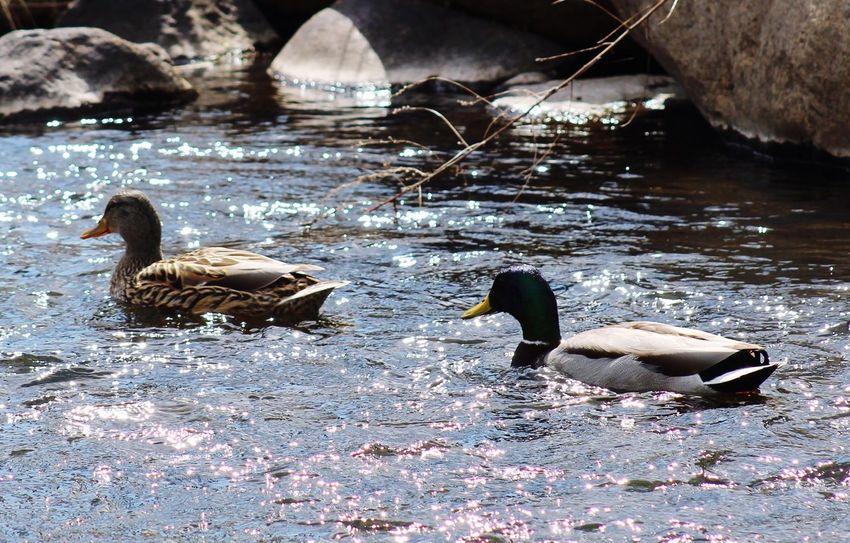 April Showcase Nature Birding Birds Spring Springtime Partners Partnersincrime Ducks Pond Pond Life