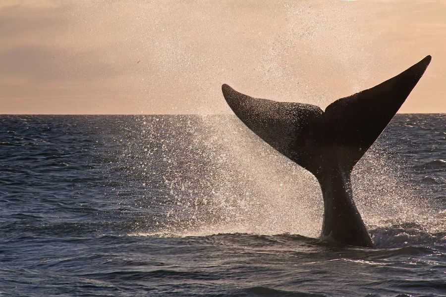 Sunset with whales, unforgettable! Whale Animal Wildlife Sea Sea Life Tail Sunset Beauty In Nature Outdoors Animals In The Wild Patagonia Argentina Nature Eye4photography  EyeEm Gallery EyeEm Selects Mammal