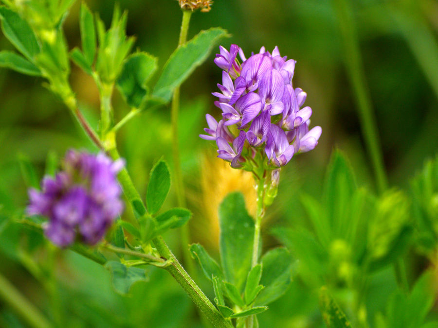 Alfalfa Beauty In Nature Blooming Close-up Day Environment Flower Flower Head Flowers Flowers,Plants & Garden Fragility Freshness Growth Medicago Medicago Sativa Nature Nature No People Outdoors Pasture, Paddock, Grassland, Pastureland Petal Plant Purple Spring