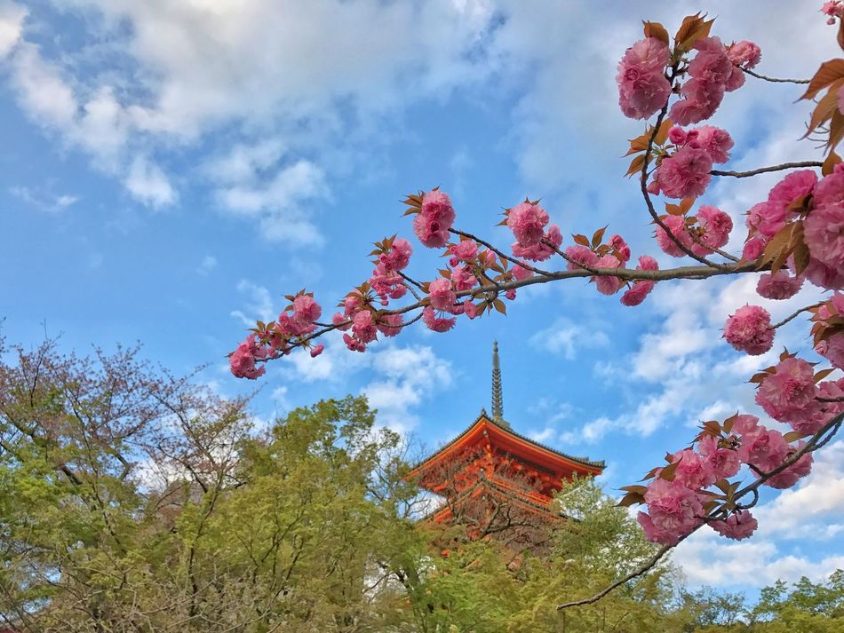 Sky Low Angle View Cloud - Sky Flower Branch Beauty In Nature Nature Day Growth Fragility No People Outdoors Kyoto City