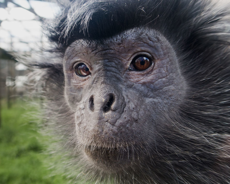 Animal Eye Animal Themes Ape Close-up Day In Captivity Langur Looking At Camera Mammal Monkey No People One Animal Portrait Primate