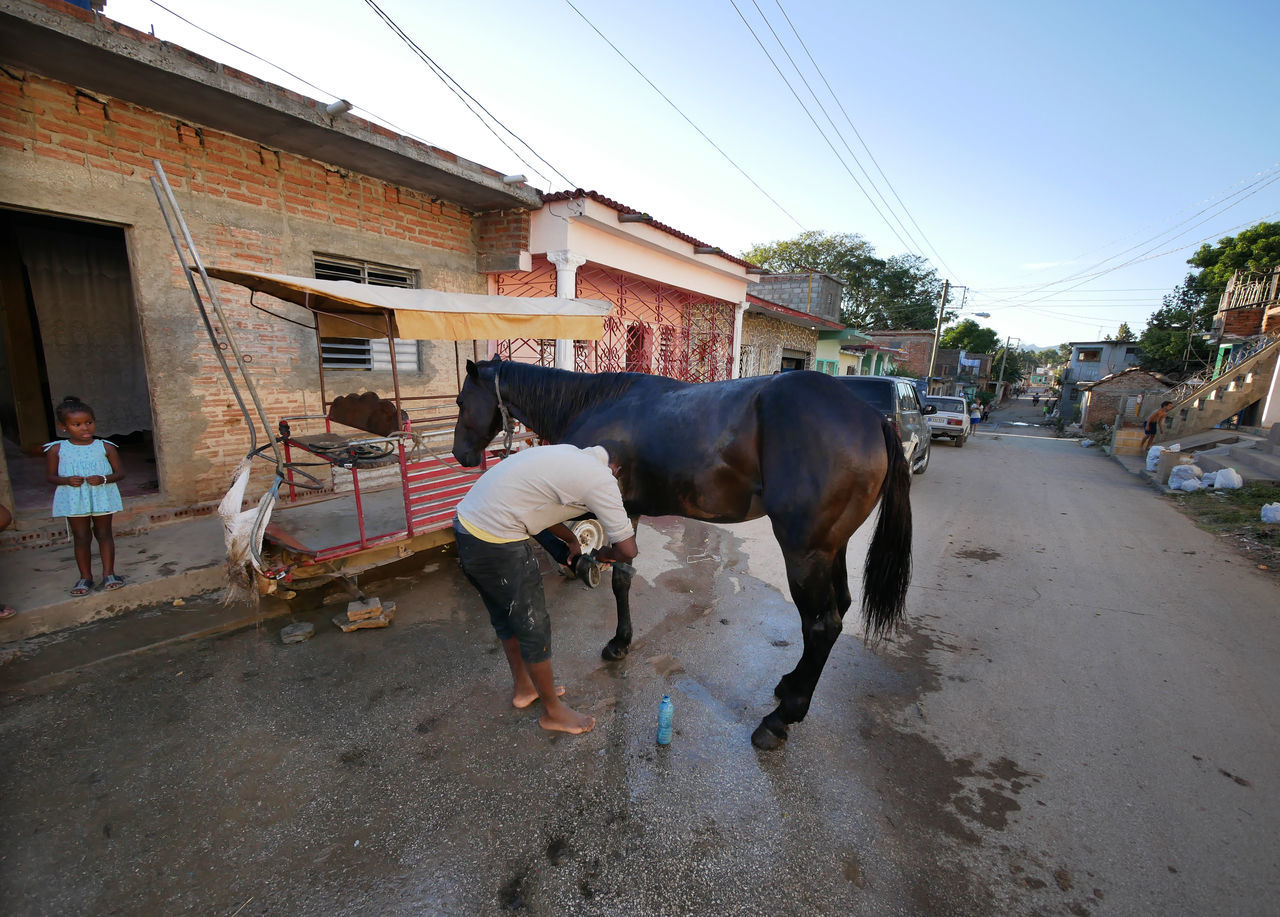 domestic animals, real people, mammal, livestock, road, day, walking, street, outdoors, built structure, transportation, men, architecture, building exterior, full length, standing, sky, clear sky, one person, tree, people