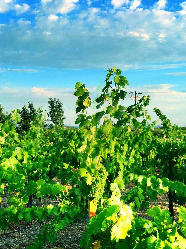 Temecula Winery Vineyard Wine Bright_and_bold