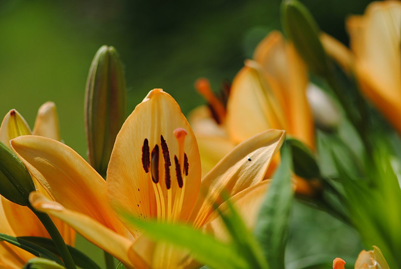 Background Beauty In Nature Blooming Close-up Day Day Lily Flower Flower Head Fragility Freshness Green Color Growth Lilies Lilies In Bloom Nature No People Outdoors Petal Plant Springtime Yellow