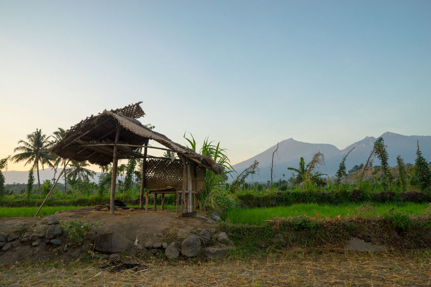Paddy fields with Mount Rinjani as backgroud at Lombok, Indonesia. Coconut Palm Tree Day Holiday Hut Landscape Mountain Nature Nature Photography No People Outdoors Paddy Field Palm Tree Rinjani National Park Rural Scene Sky Tourism Tourist Attraction  Volcano