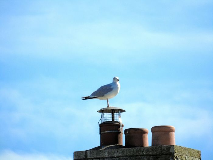 Animal Themes Bird One Animal Seagull Wildlife Blue Perching Chimney Pots Sky Beak Nature No People Animal Themes Bird One Animal Animals In The Wild Wildlife Blue Perching Seagull Vertebrate Zoology Wooden Post Day Outdoors