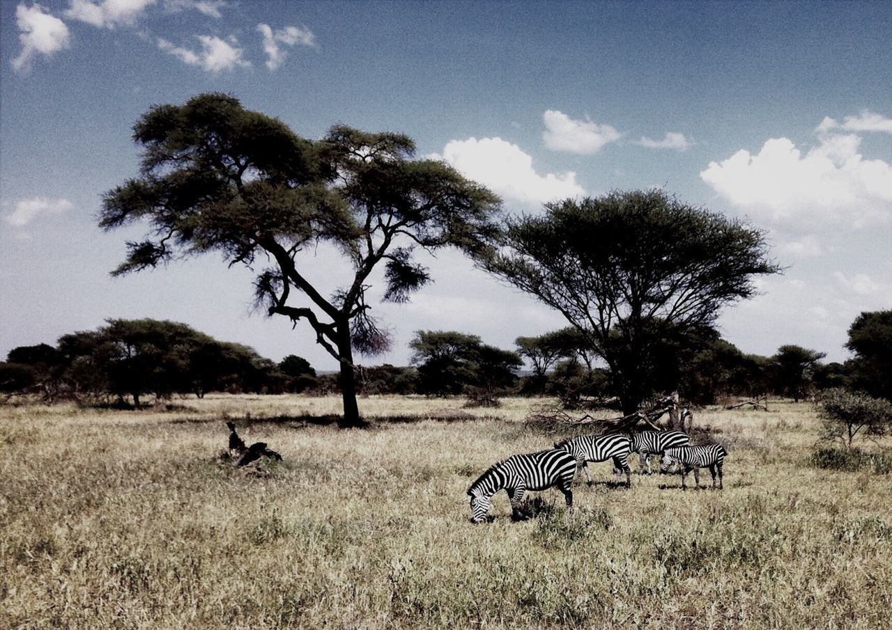 Enjoying Life Africa Safari Serengeti Zebra