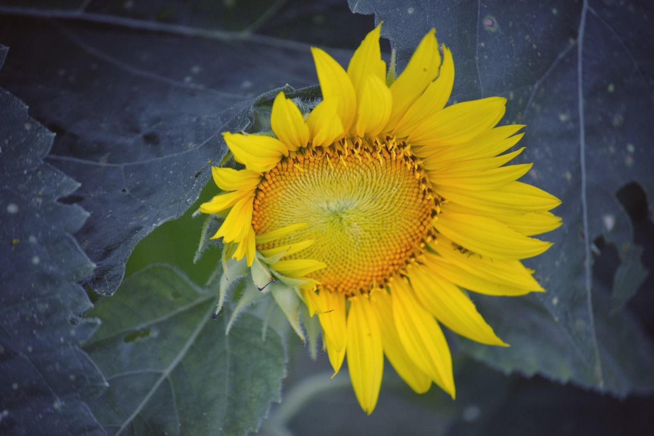 flower, yellow, fragility, petal, flower head, nature, freshness, growth, leaf, beauty in nature, plant, outdoors, close-up, day, sunflower, no people, blooming