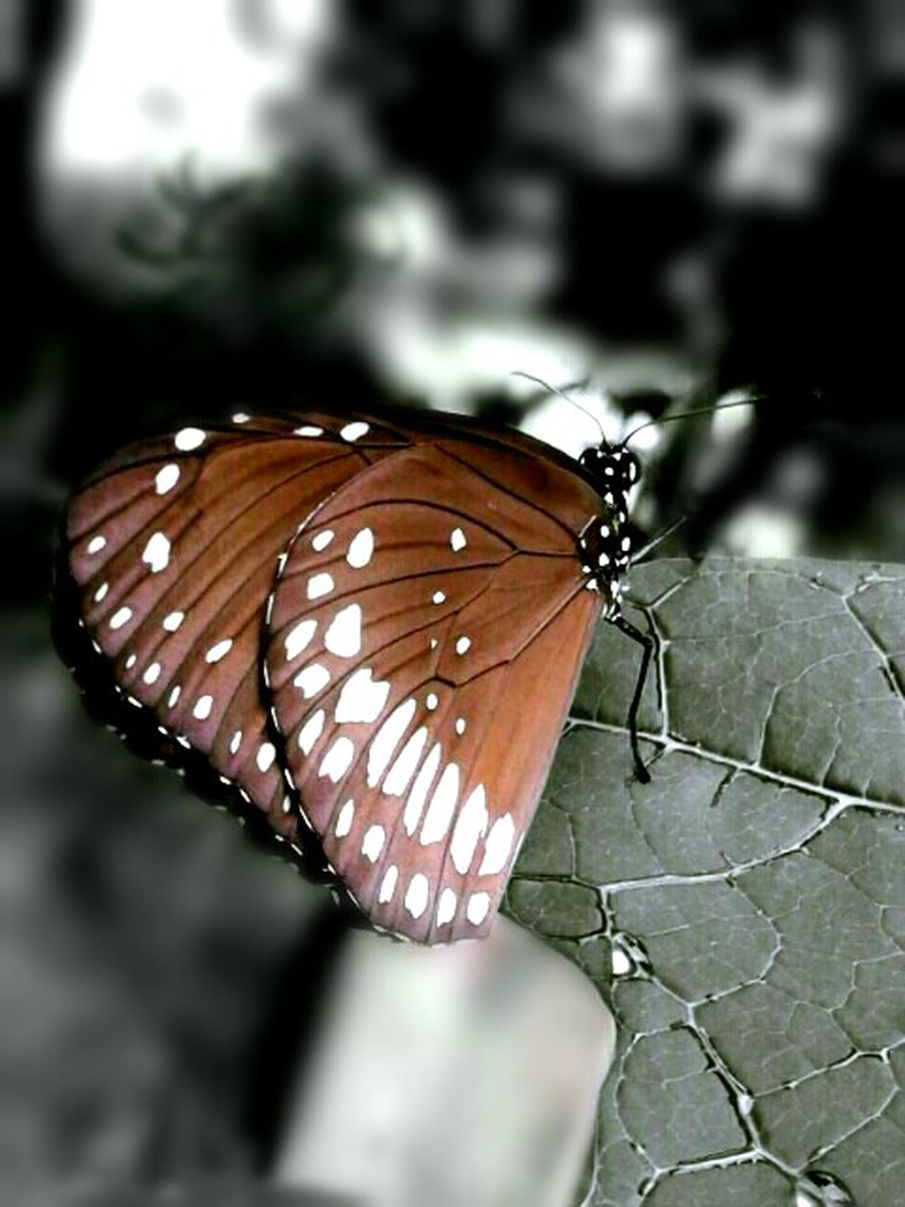 The Flying Chocolate.. 😊😜 (common name: Indian Common Crow) Butterfly Showcase June EyeEm Best Edits EyeEm Best Shots EyeEm Nature Lover EyeEm Gallery Butterfly Collection Butterfly Wings Butterflyporn Butterfly On Leaf Papaya Leaf Indian Common Crow Colorsplash Brown Butterfly Brown Color Chocolate Brown Butterfly Closeup Butterfly - Insect Garden Photography Mobile Photography Edited My Way Popular Fine Art Photography The Innovator Colour Of Life