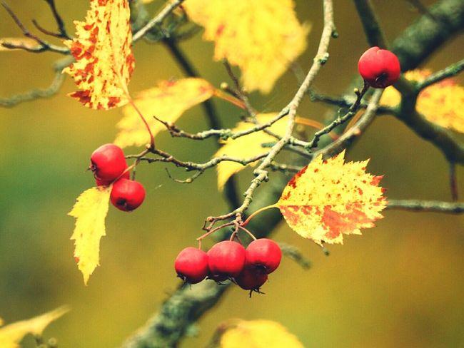 Hawthorn Freshness Beauty In Nature Nature Focus On Foreground Tree Autumn🍁🍁🍁 Autumn Pushkin City Colors Of Sankt-Peterburg Russia Aleksandrovskii Park TakeoverContrast