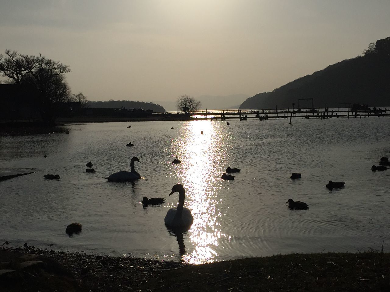 LochLomond Scotland Sky Water Outdoors Day Swan Swimming Animals In The Wild Waterfront Scenery Shots Tranquility Rural Scene Nature Bird Duck Beauty In Nature Outdoor Photography Animal Themes Naturelovers Sunbeam Silhouette Beautiful Nature Landscape_Collection Scotlandsbeauty
