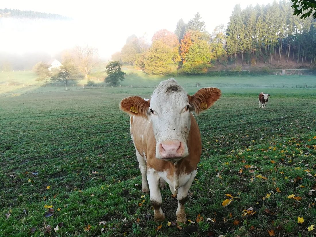 Animal Themes Domestic Animals Cow Mammal Livestock Portrait Grass Looking At Camera No People One Animal Nature Tree Day Beauty In Nature Outdoors Sky Silberbachtal Autumn Panoramic Photography Foggy Weather Horn-Bad Meinberg Veldrom Feldrom Foggy Morning Livestock