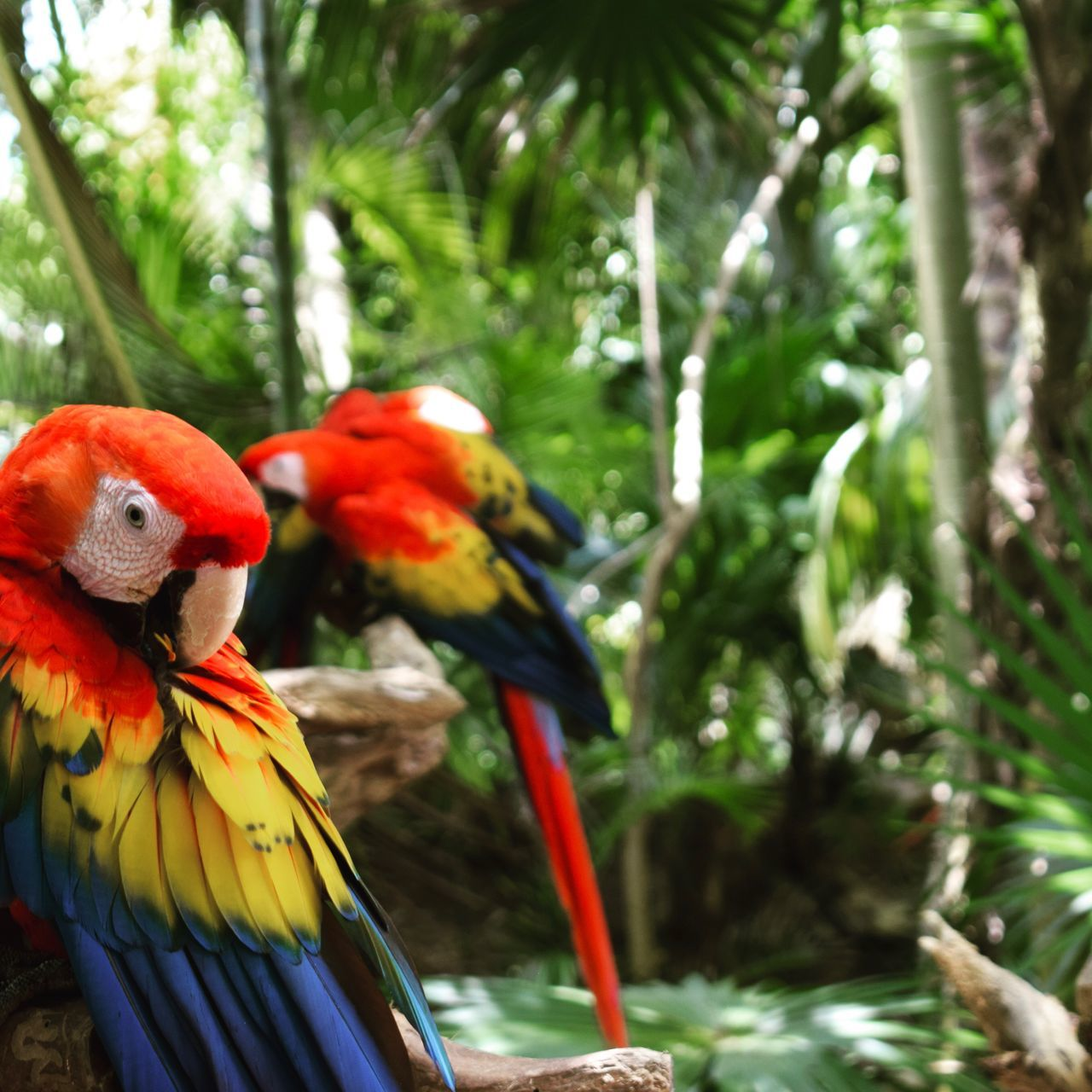 macaw, scarlet macaw, bird, parrot, animal themes, focus on foreground, red, animals in the wild, no people, tree, animal wildlife, one animal, day, nature, gold and blue macaw, beauty in nature, perching, close-up, multi colored, outdoors