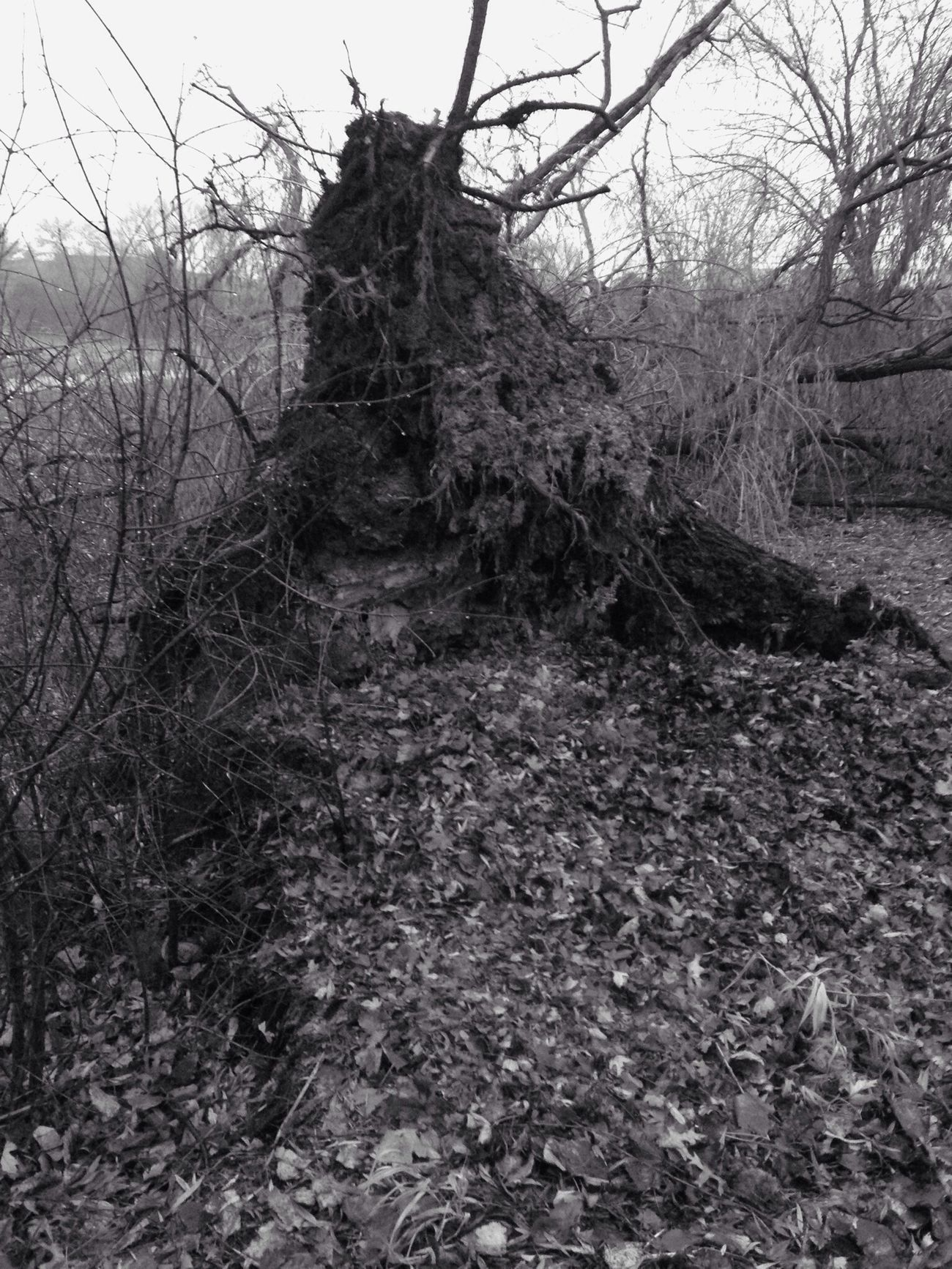 underbelly of a tree Blackandwhite Winter Walking Trees