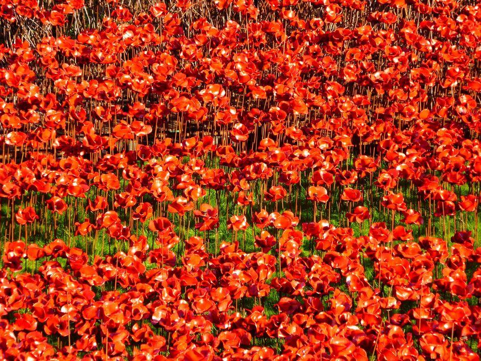 Poppies  Remembrancepoppy Remembrance Flowers Flower Red Tower Of London Ceramics Ceramic Art Ceramic Poppies ArtWork Art Installation Poppy Flowers Poppy Field Of Poppies Poppy Fields Glass Art Pottery Art