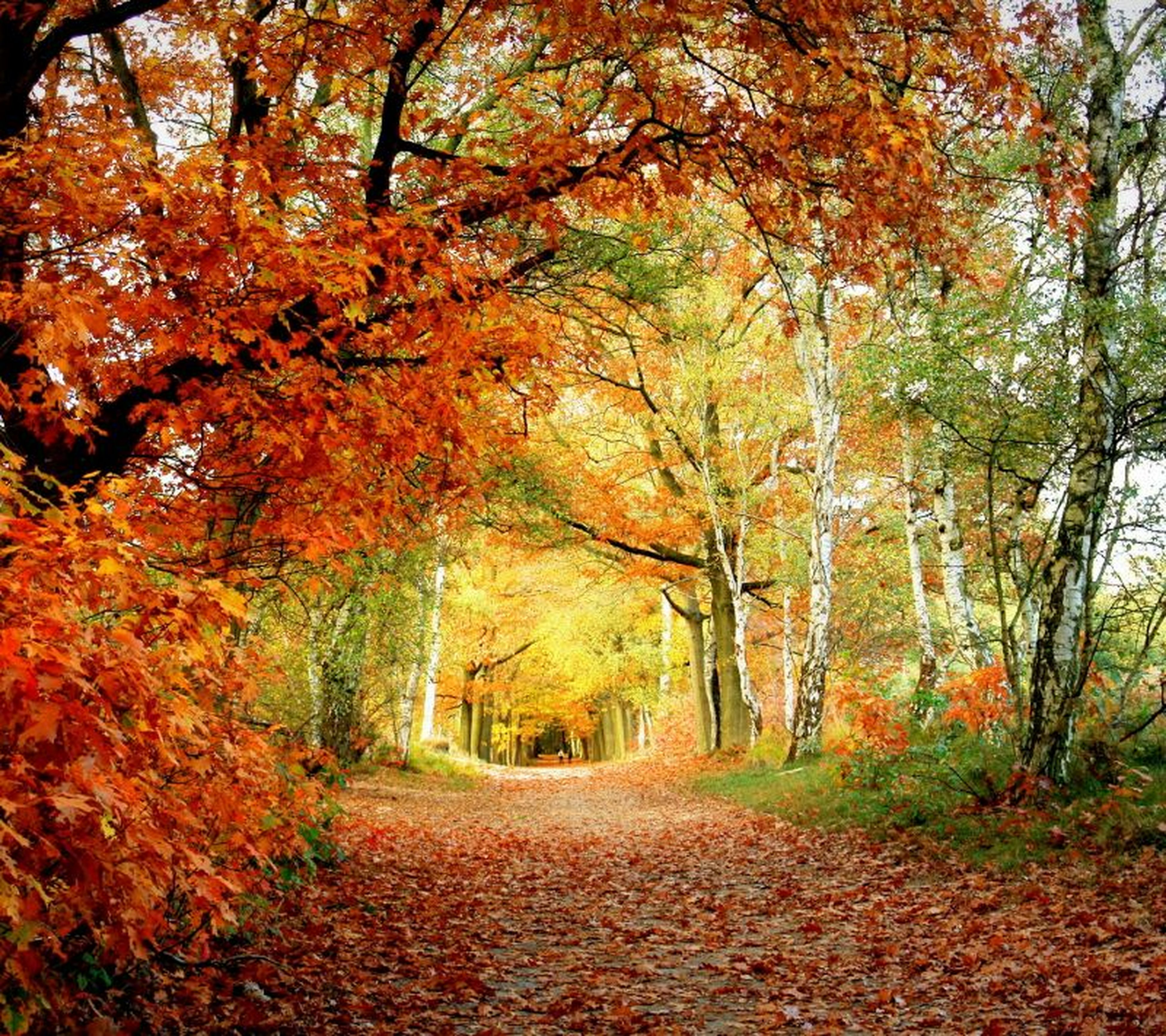 tree, autumn, change, season, the way forward, tranquility, forest, nature, beauty in nature, tranquil scene, orange color, scenics, leaf, growth, tree trunk, diminishing perspective, branch, woodland, day, non-urban scene