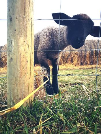 Farm Life Lamb Animalphotography Cute LoveIt ❤️ Saskatchewan