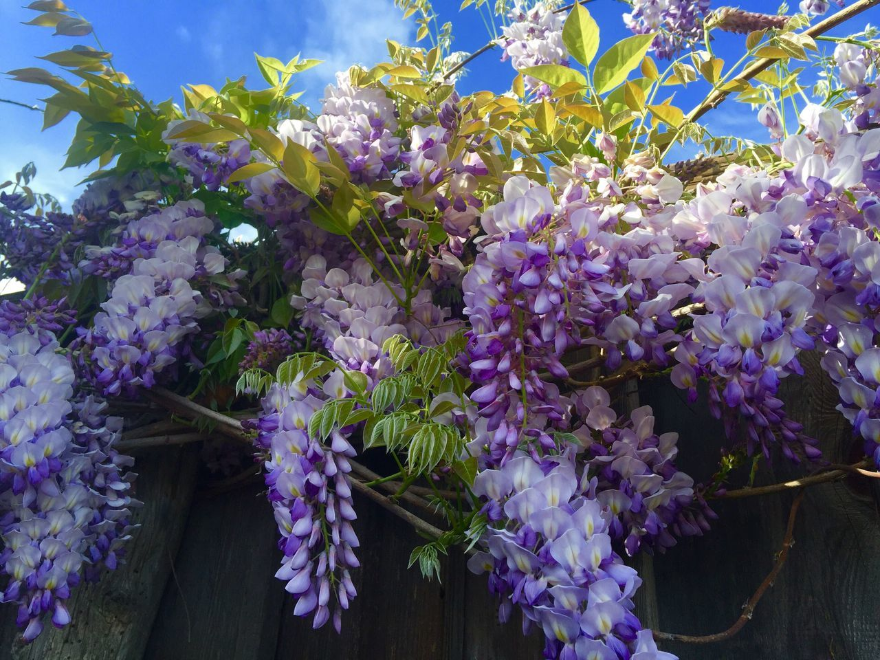 The Great Outdoors - 2016 EyeEm Awards Girl Power The Essence Of Summer Tranquil My Garden @my Home Visual Feast Purple visual feast, purple wisteria in my garden, for fining a cure for Lupus in my life time!💜🦋