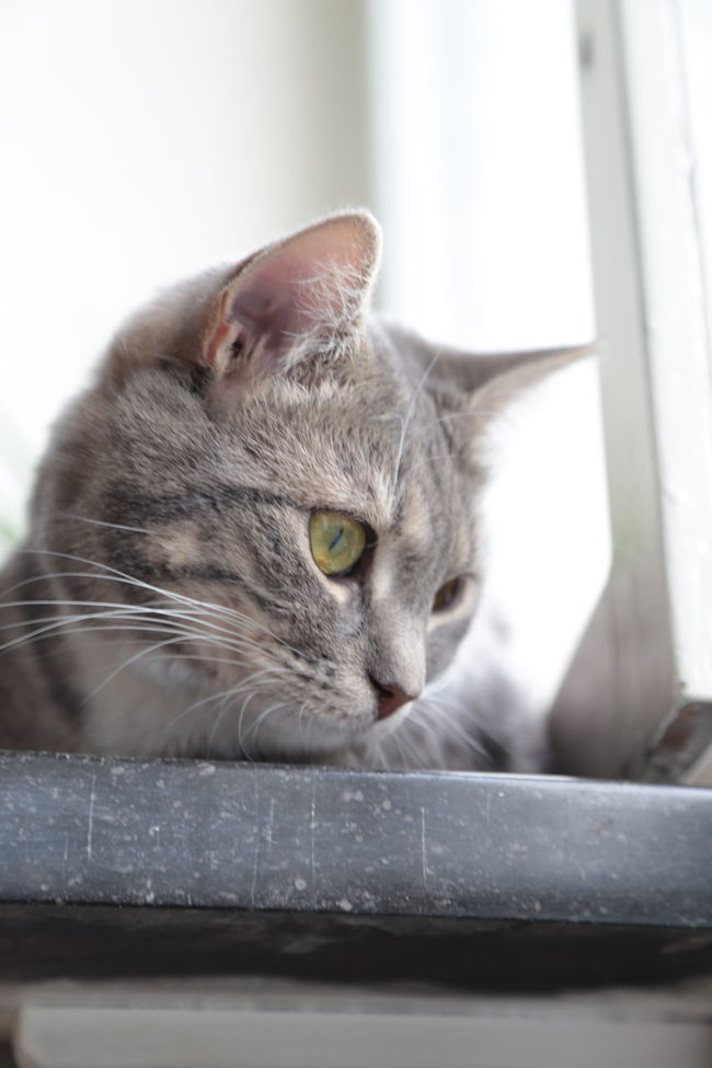 Alertness Animal Animal Body Part Animal Eye Animal Head  Cat Close-up Curiosity Domestic Animals Domestic Cat Feline Focus On Foreground Grey Cat Home Kitten Mammal No People Pets Portrait Pretty Cute Relaxation Selective Focus Small Cat Staring Whisker