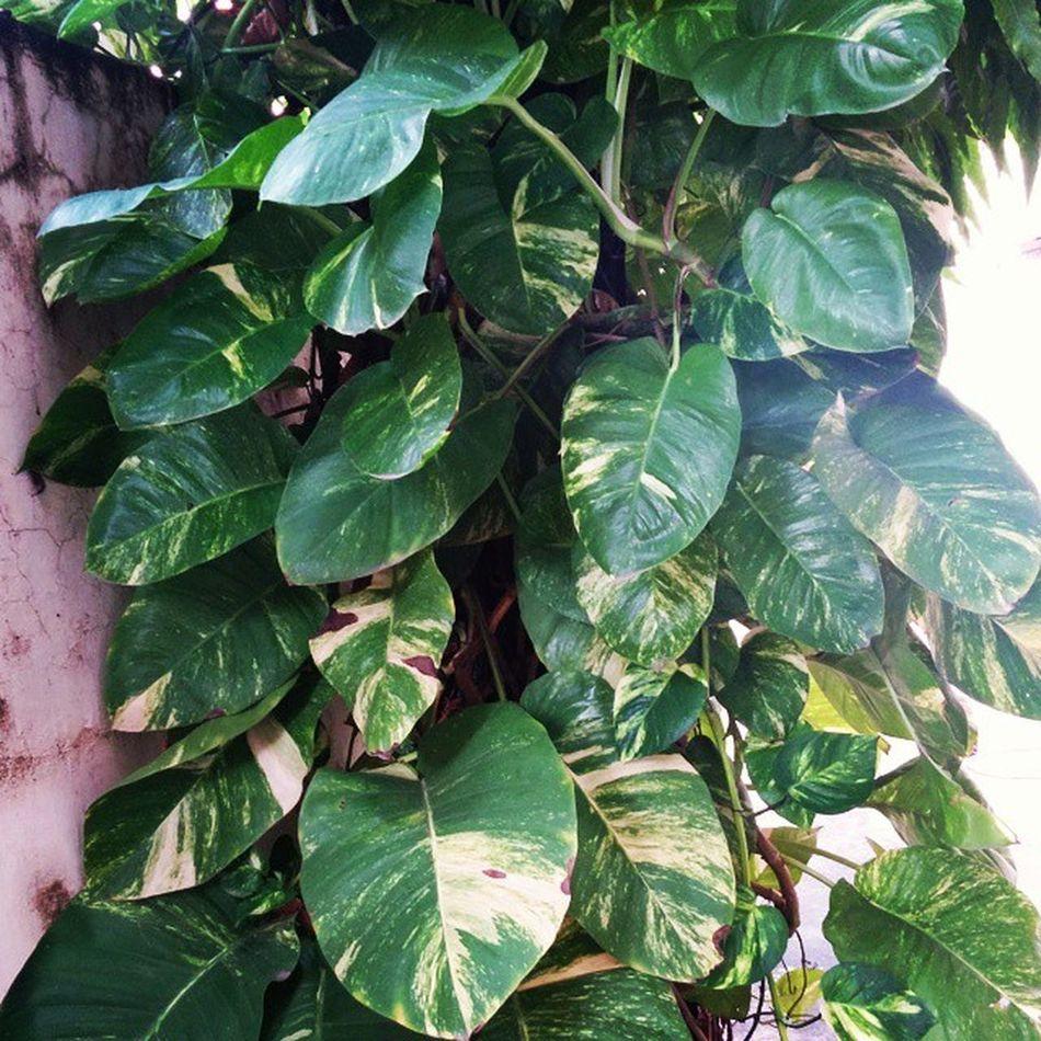 Epipremnum Moneyplant Homegarden Garden Instagardenlover Containergarden Ahmedabad India Nexus5photography Nexus5