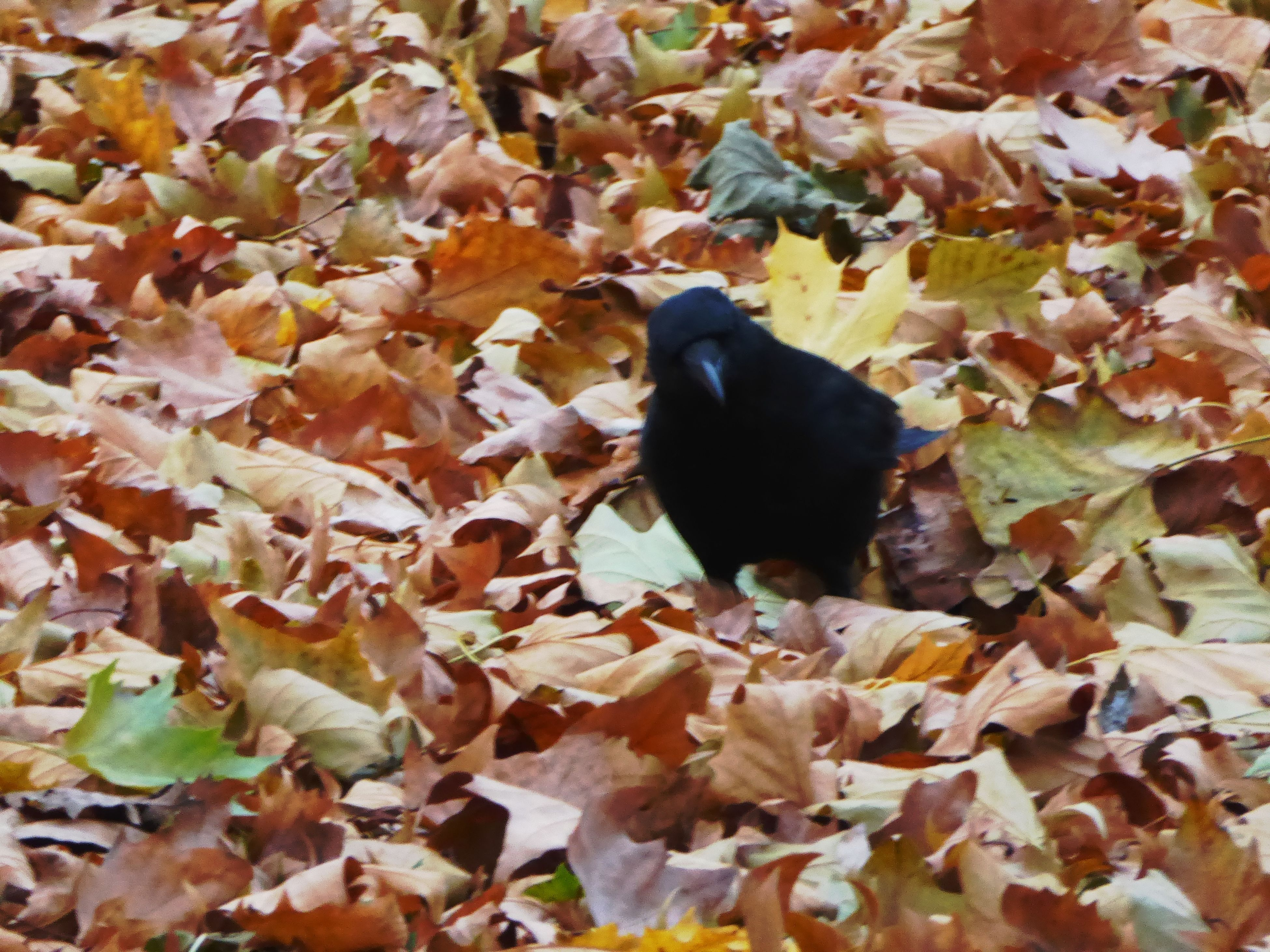 one animal, animal themes, leaf, nature, no people, high angle view, black color, plant, animals in the wild, autumn, fragility, day, outdoors, bird, close-up, perching, beauty in nature