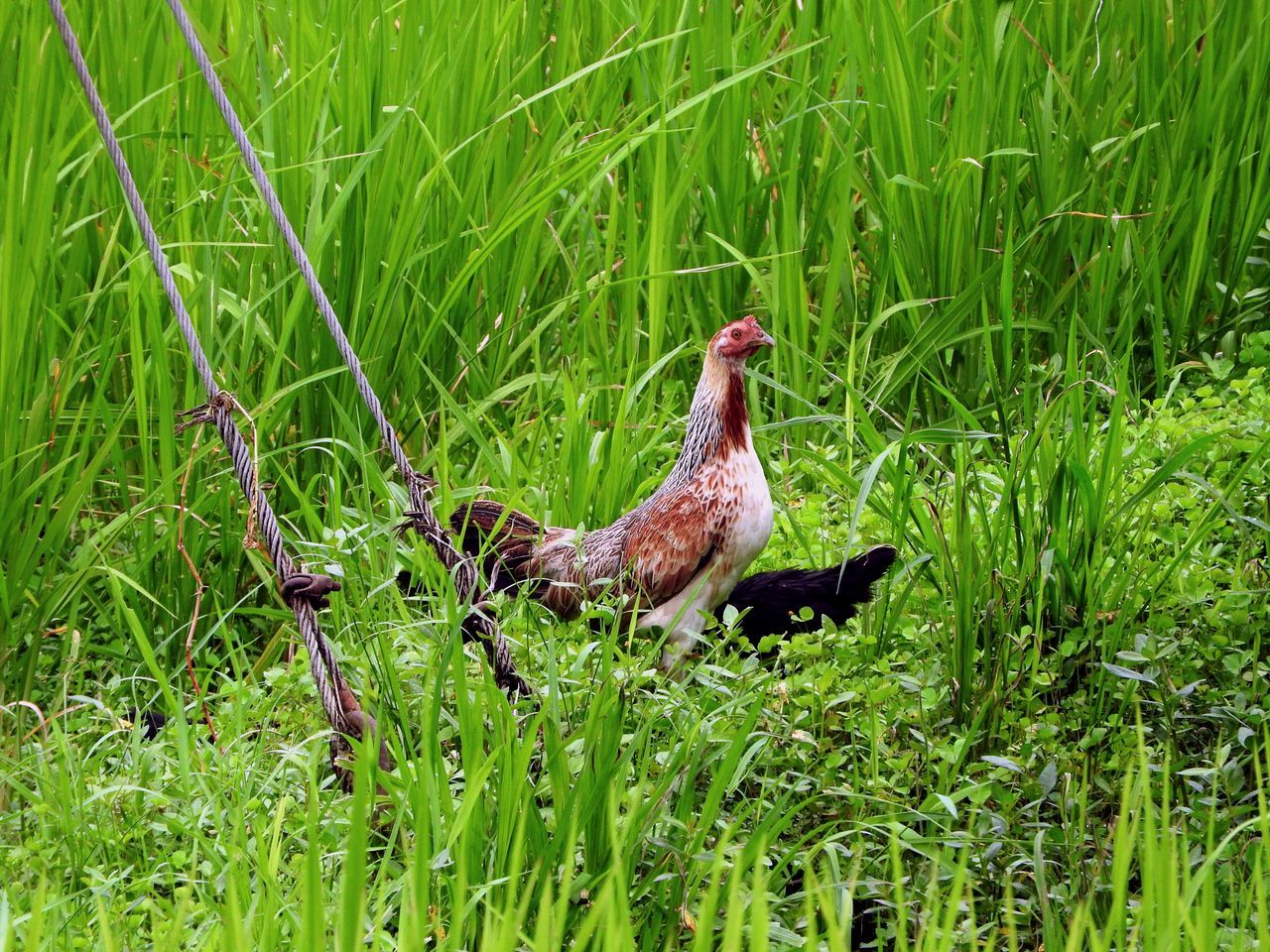 Freedom Is Mine - Somewhat ~ Animal Themes Animals In The Wild Bali Bird Chicken Day Farmlife Field Free Range Freedom Grass Green Color Growth In The Country Long Grass Mammal Nature No People One Animal Outdoors Rice Field Rooster The Great Outdoors - 2017 EyeEm Awards