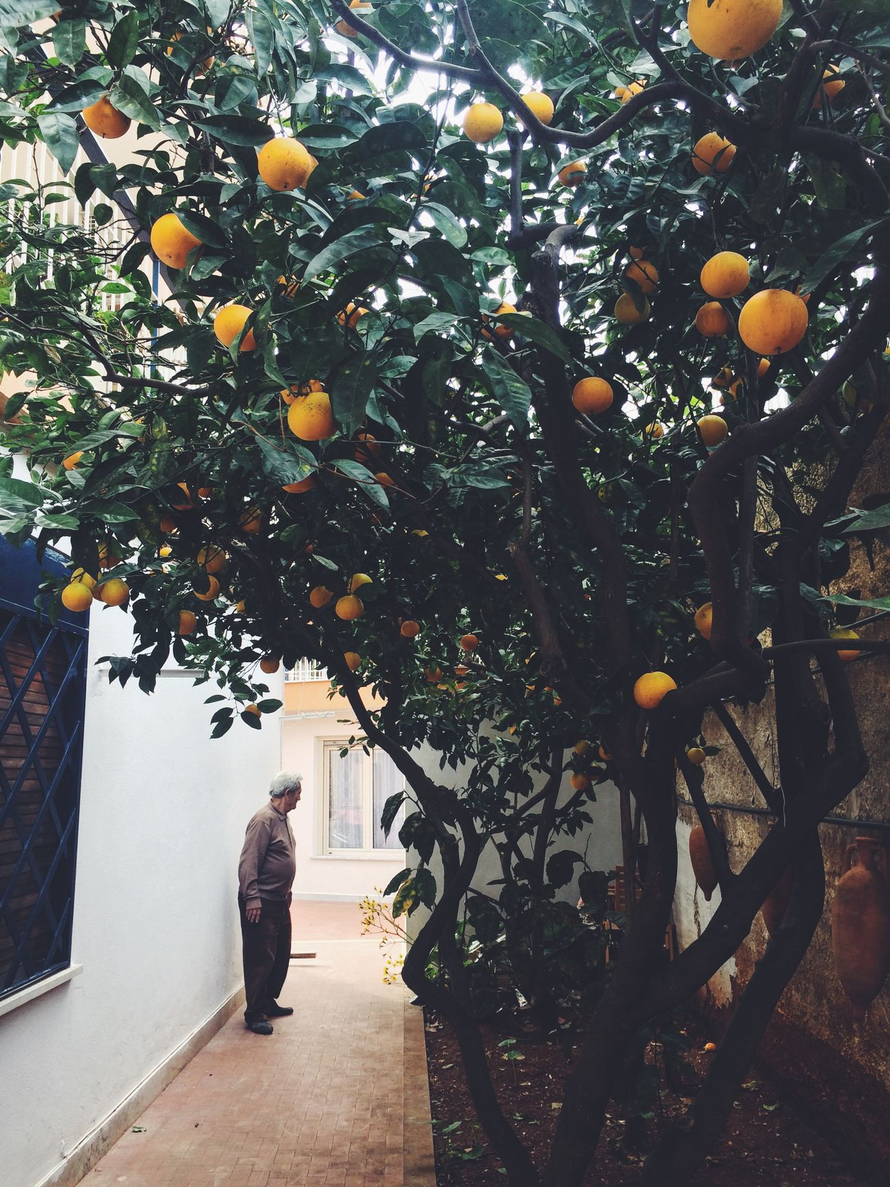 Adult Adults Only Beauty In Nature Branch Citrus Fruit Day Food Food And Drink Freshness Fruit Fruit Tree Growth Juicy Nature One Person Orange - Fruit Orange Tree Outdoors People Tree
