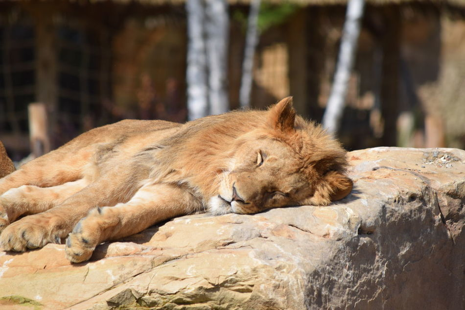 lion Animal Themes Animals In The Wild Close-up Day Feline King Lion Mammal No People One Animal Outdoors Powerful Relaxation Rock Rock - Object Sleeping Strong Wildlife