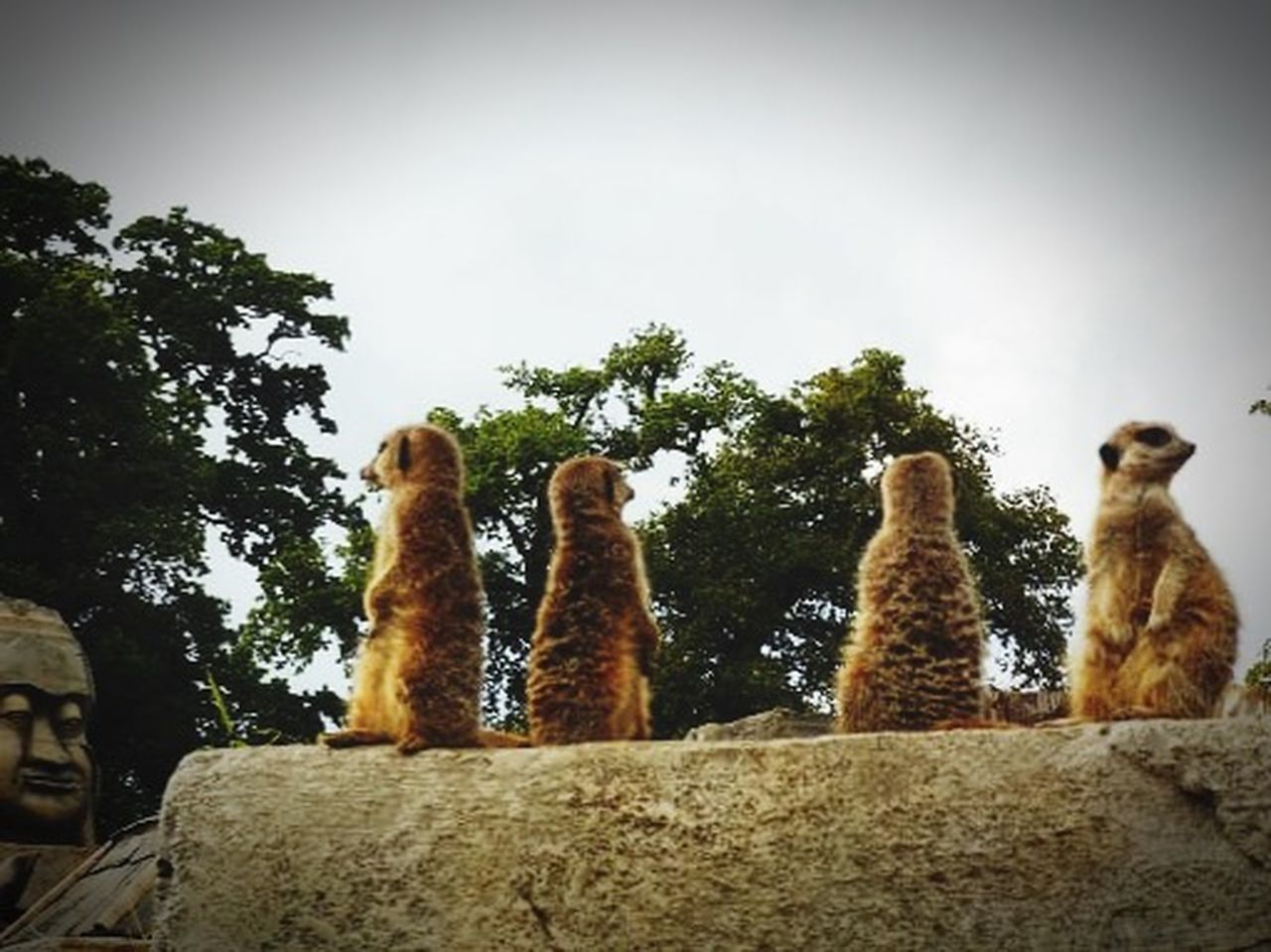 Chilling With Friends Meerkat Just For Fun