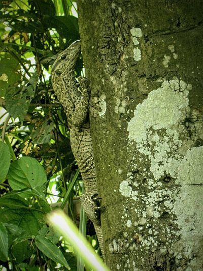 This lizards are called Varanus Bengalensis commonly known as Bengal Monitor . One of the largest lizards species in the world. Mimicry in Reptile Lizard Wildlife Nature Wildlife & Nature Animal Photography Wildlife Photography