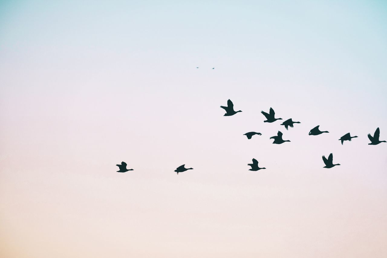 Running to the store Animals In The Wild Birds Flock Of Birds Flying Copy Space Migrating Clear Sky Mid-air No People Outdoors Nature Day Spread Wings Minimalism Fujifilm_xseries Fujifilm Art Is Everywhere Premium Premium Collection Break The Mold The Great Outdoors - 2017 EyeEm Awards