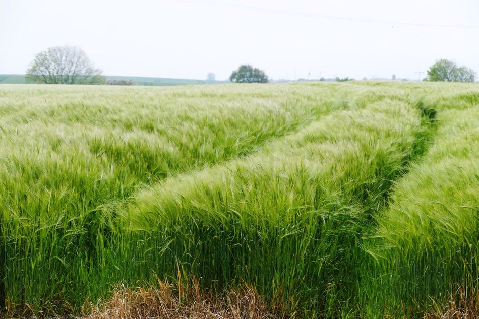 Landscape Landscape_Collection Landscape_photography Tunstall East Yorkshire LUMIX DMC FZ1000 Barley Barley Field