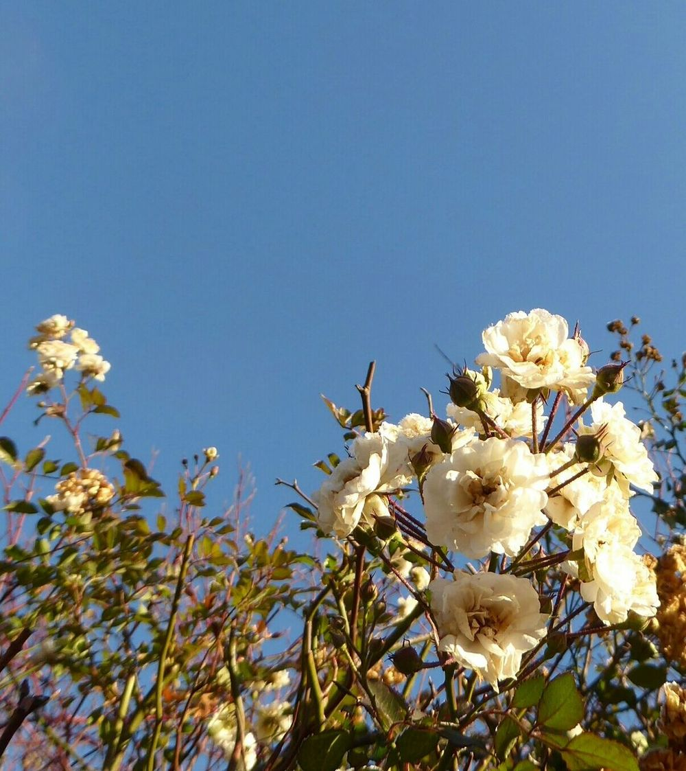 The Sky Today😍 Beauty In Nature Blossom Fragility Close-up For My Friends 😍😘🎁 Cold Temperature Frostymorning Clear Sky Sunny Day 🌞 Blue Sky Sunlight A Sight That Warms My Heart At Frosty Temperatures Whiteflower Beauty Of Life  All Beauty Must Die Beauty Of Evanscence