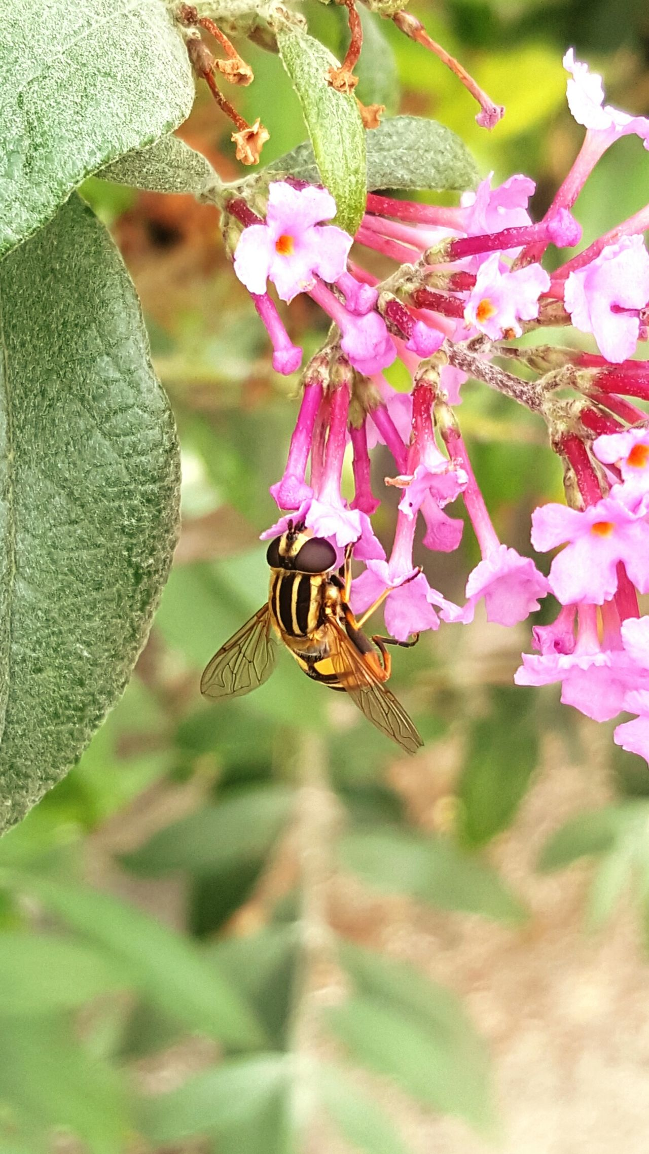 Flower Insect Selective Focus Smartphone Photography Samsung Galaxy S6 Plants Wasp Macro Wasp Pinkflower One Animal Pollination Beauty In Nature ThewayIseethings Beauty In Ordinary Things Beauty In Nature Flowers