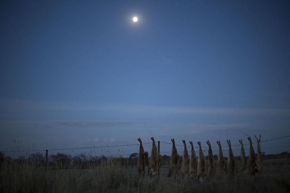 Dead Animals Dead Fox Fox Foxes On Fence Mammal Moon Moonlight Nature Nightphotography No People Outdoors Rural Scenes