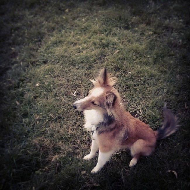 Hello. Sheltie Sheltiemix Mixedbreed Dog park puppy