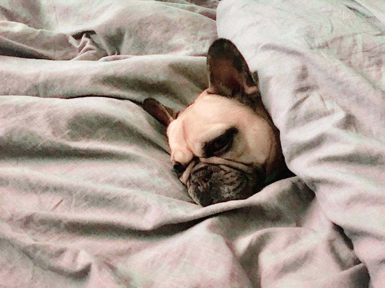 Spoiled Cosily Hidden Don't Disturb Me Bed Relaxation Lying Down Sleeping Sheet Pets Blanket Dog Home Interior Close-up Domestic Animals Mammal Animal Themes Animals Dogs Of EyeEm One Animal French Bulldog Bulldog Frenchie