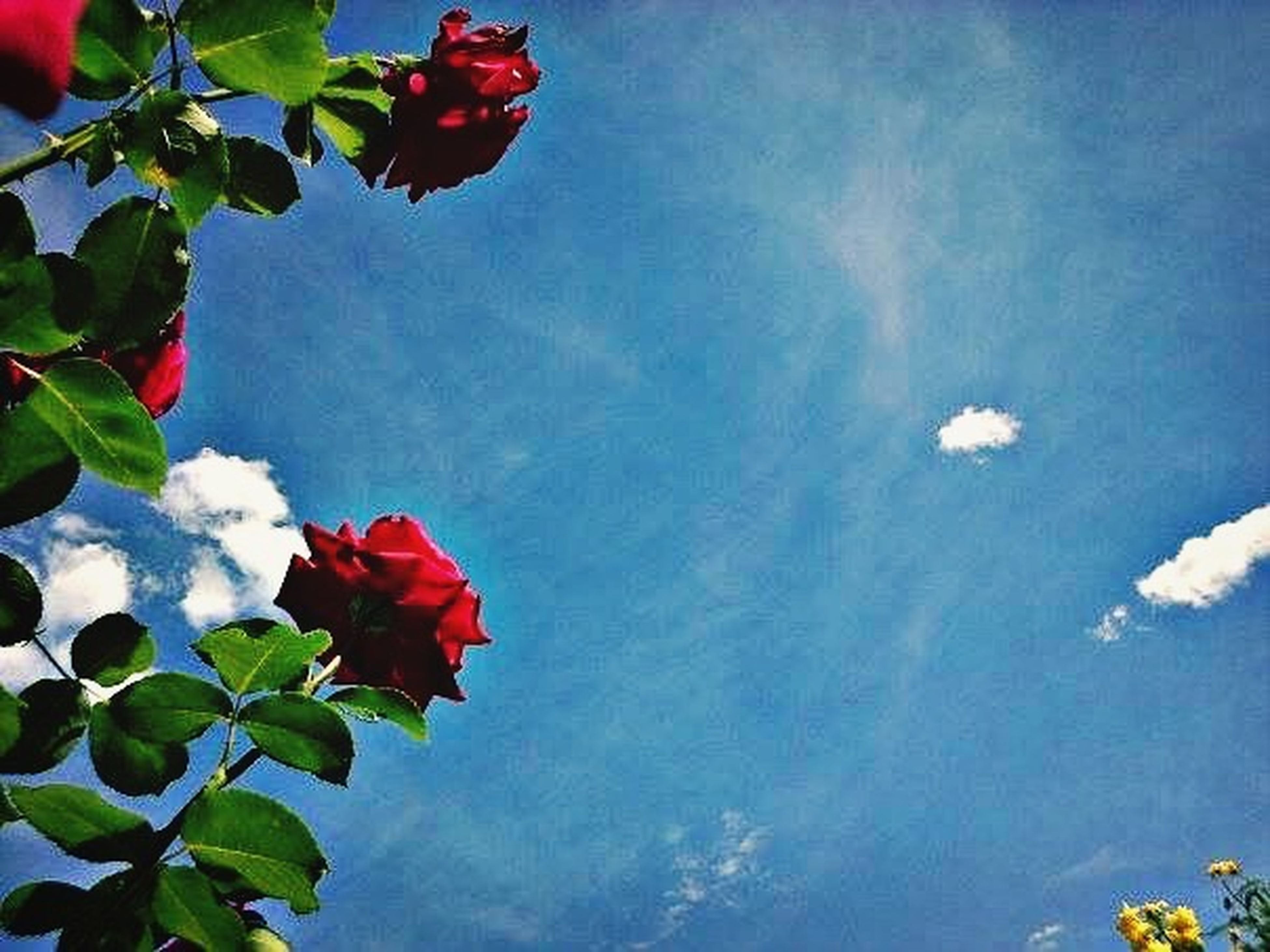 low angle view, red, leaf, sky, flower, growth, beauty in nature, nature, freshness, fragility, petal, tree, blue, day, plant, cloud - sky, outdoors, tranquility, no people, sunlight
