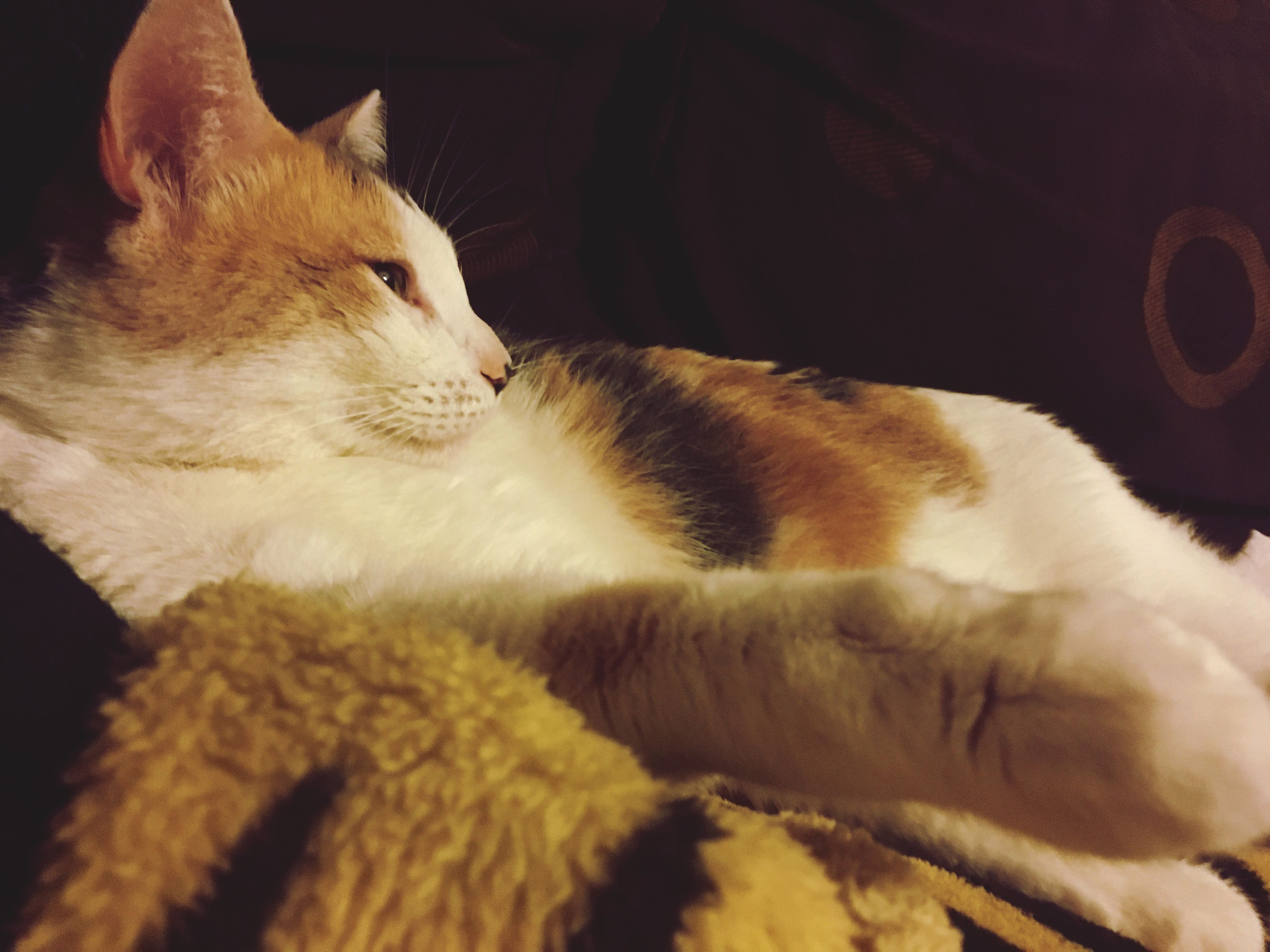 domestic animals, domestic cat, animal themes, pets, mammal, cat, feline, relaxation, sleeping, resting, lying down, whisker, eyes closed, close-up, comfortable, animal, animal head, no people, home, napping, animal body part