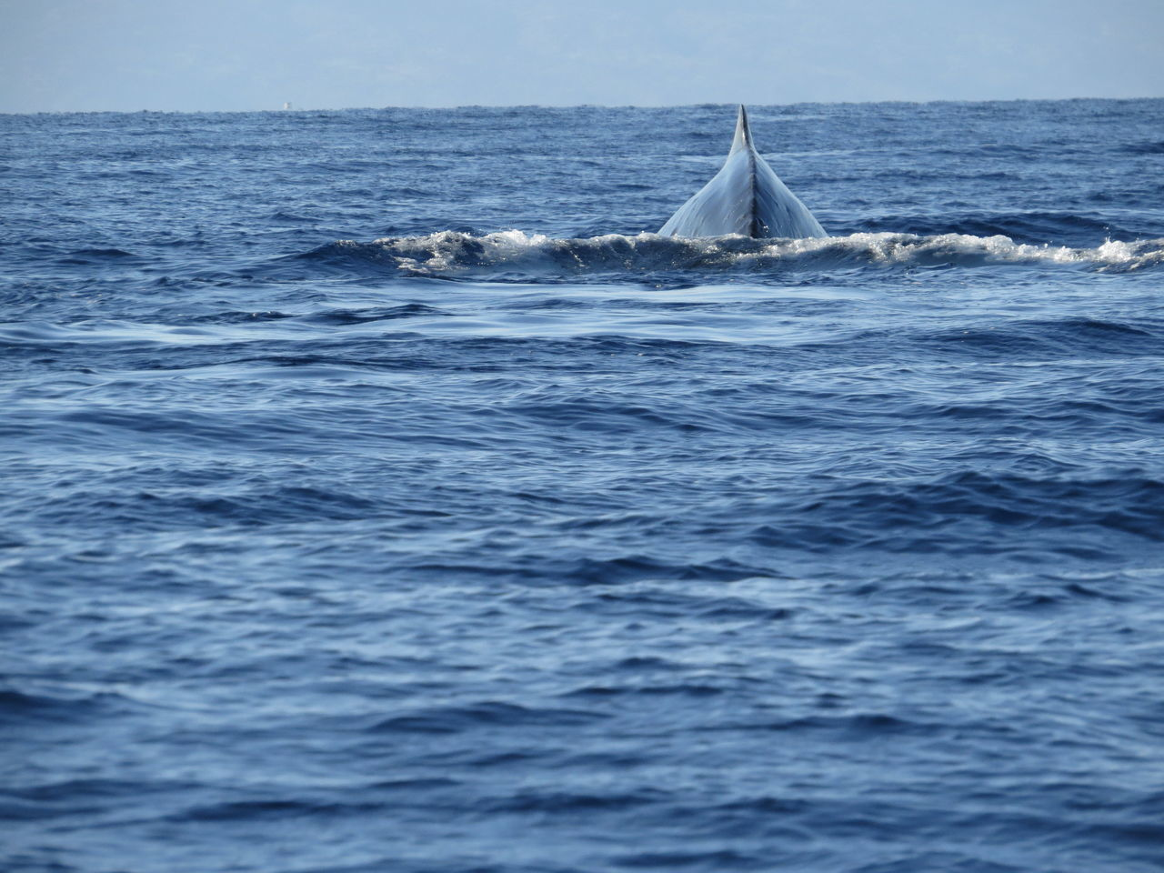 Beautiful stock photos of blue whale, Animal Themes, Blue, Clear Sky, Lahaina