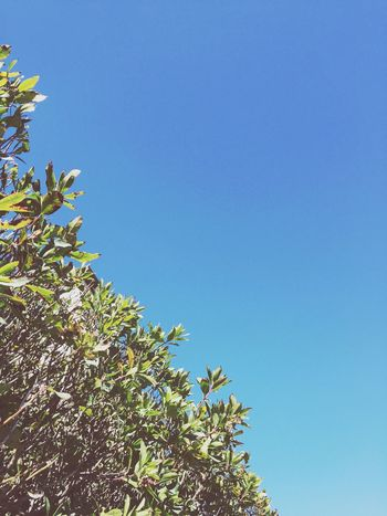 Blue Clear Sky Growth Low Angle View Nature No People Tree Beauty In Nature Leaf Outdoors Day Plant Green Color Sky Close-up Freshness