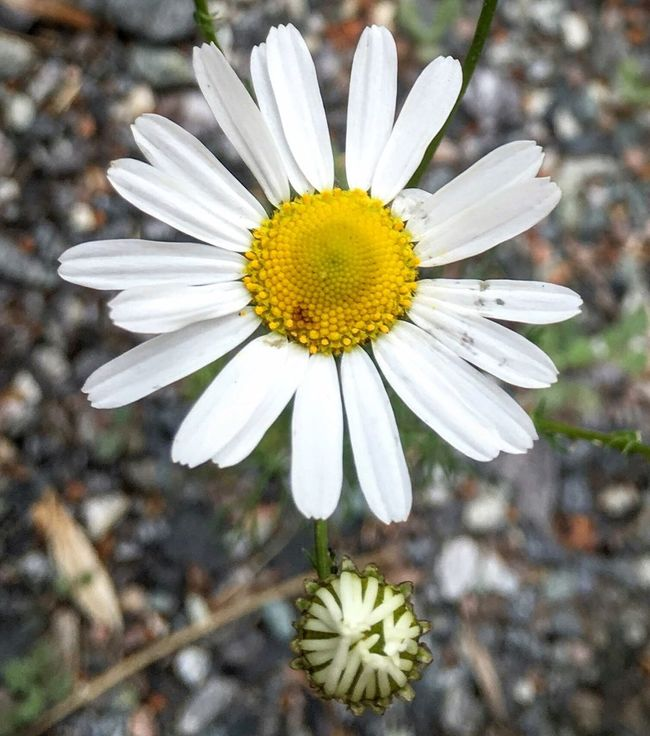 Picking Daisy's Taking Photos Flowers Summertime AndTheLivingIsEasy Oslo2016✨ Urbannature Sunmer In The City Enjoying Life Hiking Adventures Urbex KariJosefiné✨
