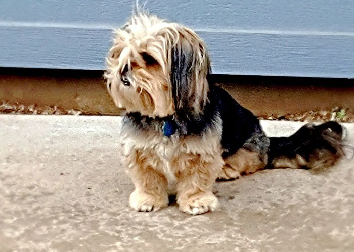 She is keeping an eye out for anything that moves or she can eat. Lol Dog Pets Domestic Animals One Animal Animal Themes Mammal Beach Outdoors Day Sea Sitting Water No People Nature YorkieBestShots Yorkiepoo Yorkieproblems Watching Pet Portraits